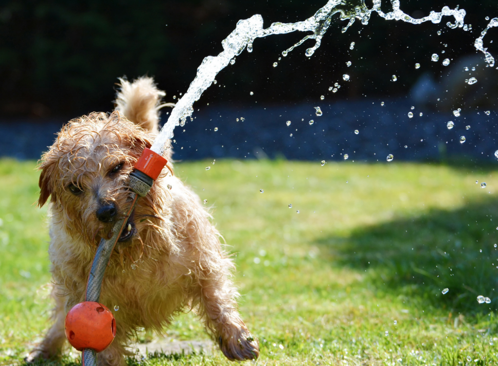 dog playing with a water hose
