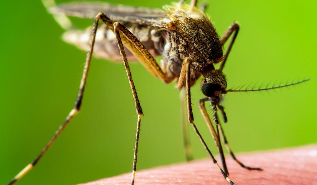 mosquito species